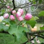 Obstblüte an der Streuobstwiese