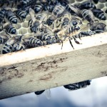 Sterzelnde Biene